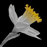 Fantasy Daffodil